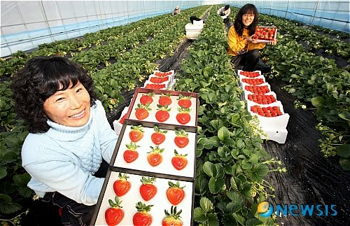 Gangjin heart shaped strawberries