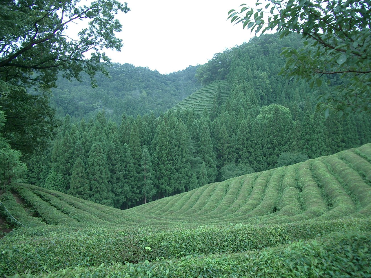 Korea-Boseong-Green.tea-01