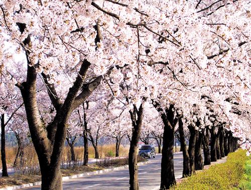 Gyeongpo Cherry Blossom Festival